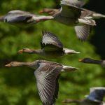 Дивите гъски на Мери Оливър